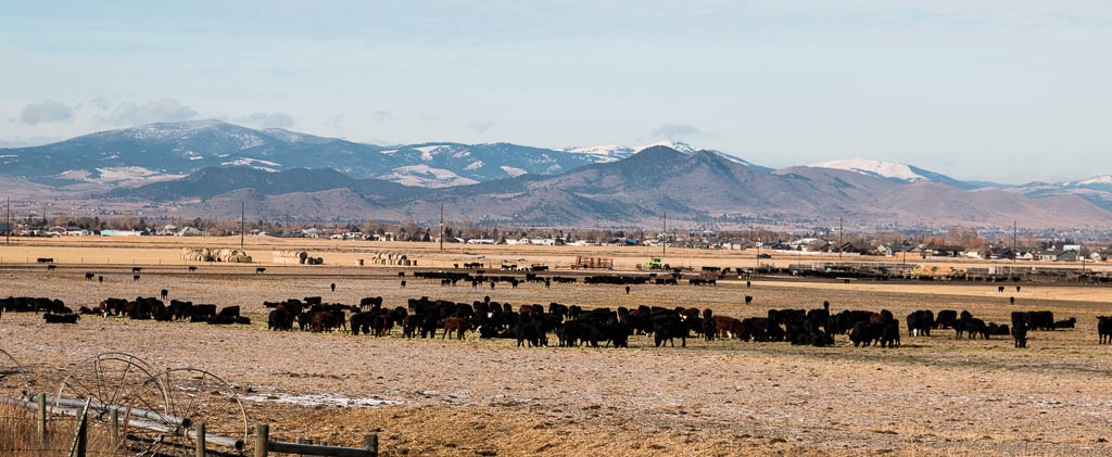 Picture of nearby cattle